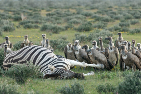 Vultures gathering around a zebra carcass in Etosha National Park, Namibia. Image Credit: Holly Ganz, UC Davis.