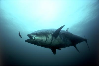 Atlantic bluefin tuna. Image Credit: ©Gilbert Van Ryckevorsel/TAG A Giant.