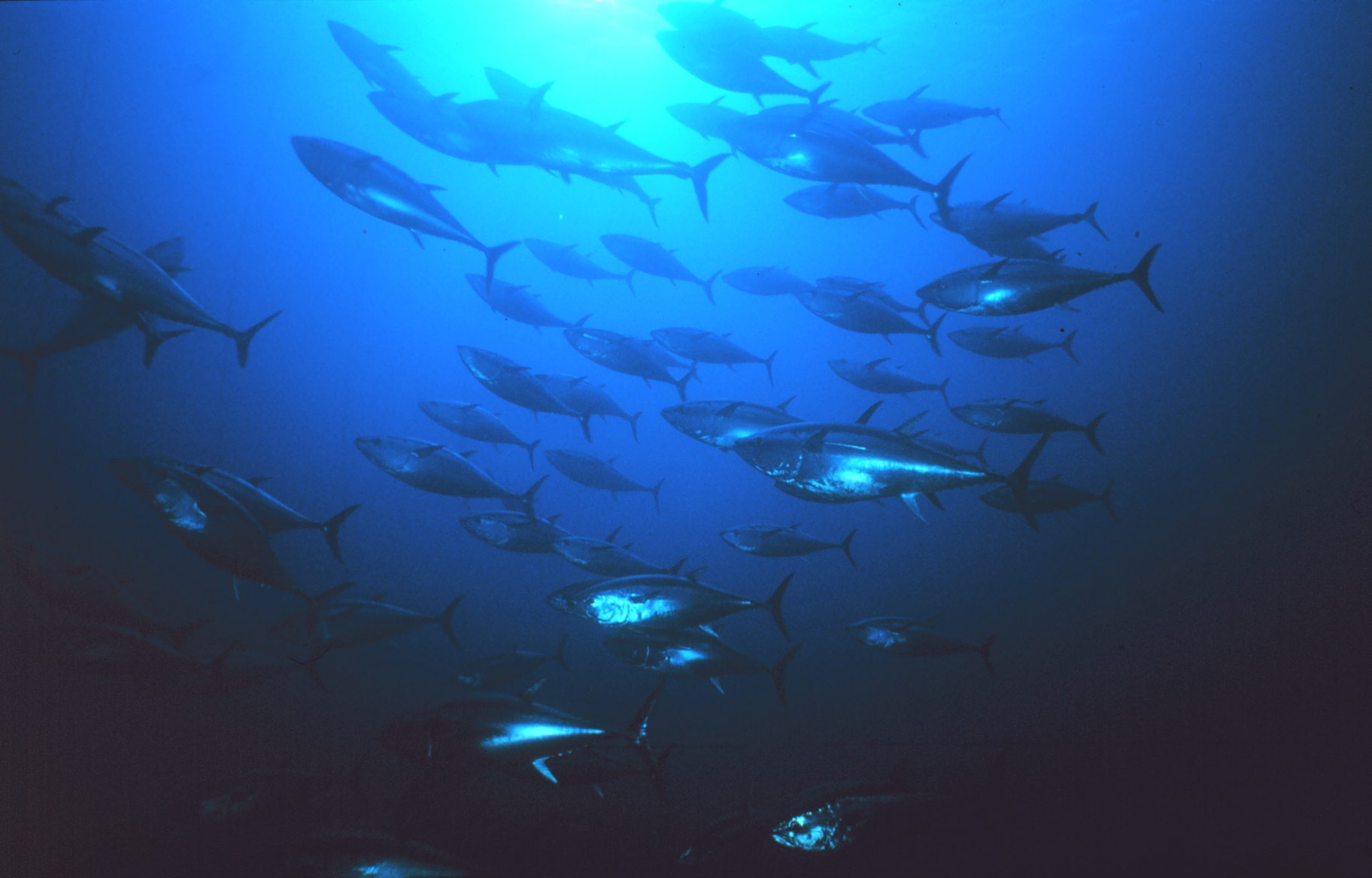 School of bluefin tuna. Image credit: NOAA.