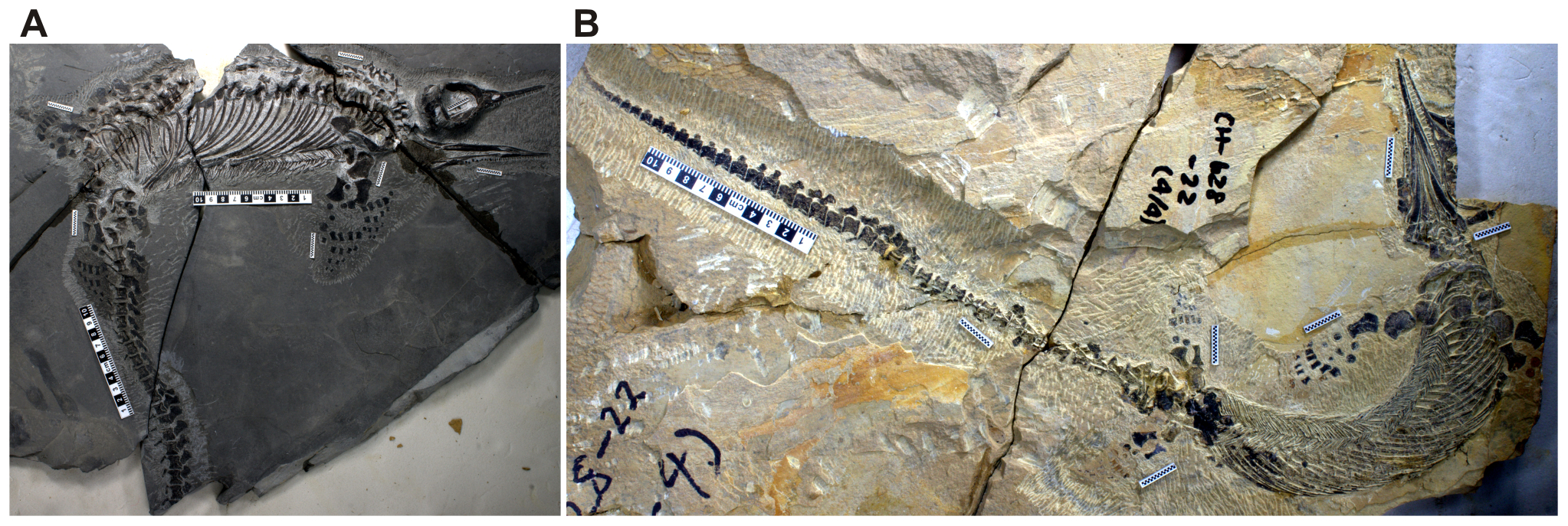 An image of two other almost-complete Chaohusaurus fossil skeletons, from the research paper in PLOS One, that were also collected from the same quarry as the birthing Chaohusaurus. The three specimens came from Majiashan, in east China's Anhui Province. Image credit: Ryosuke Motani, doi:10.1371/journal.pone.0088640.