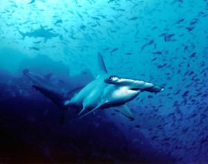 Hammerhead shark via Wikimedia Commons.
