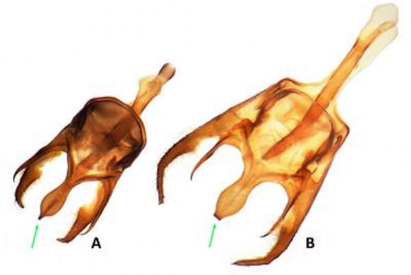 Male genitalia of the Intricate Satyr (A) is smaller and darker, and has a pointed center tip. Those of the Carolina Satyr (B) are larger, paler, and have a truncated center tip. Image Credit: Nick V. Grishin.