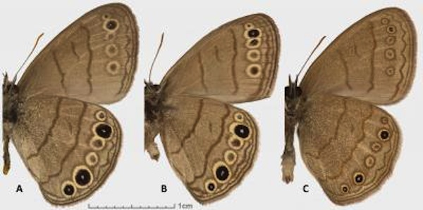 Despite being distantly related, the wing patterns of the Intricate Satyr (A) and Carolina Satyr (B) are very similar. The South Texas Satyr (C) is closely related to the Carolina Satyr but its wing lines are wavier with smaller eyespots. Image Credit: Nick V. Grishin.