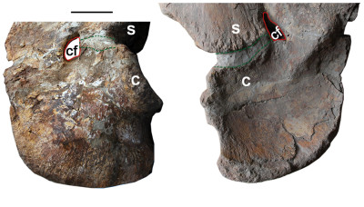 Two sides of the scapula-coracoid (a segment of shoulder bone); areas outlined in green, are not fused, indicating that this dinosaur was a juvenile. Image credit: Li-Guo Li, et al. via PLOS One.