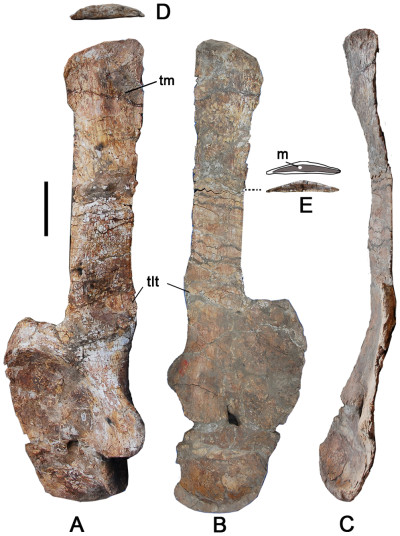 The long shoulder blades, more than 6 feet in length, had to be positioned 50 degrees from the horizontal to fit in the sauropod's body. In this image, one piece of bone is image from three different sides. Image credit: Li-Guo Li, et al. via PLOS One.