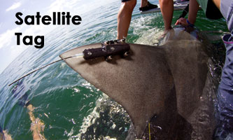 Satellite tag on a bull shark. Image credit: A. Gallagher, et al.