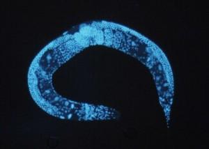 C. elegans via < href='http://it.wikipedia.org/wiki/File:Enlarged_c_elegans.jpg' target=_blank>Wikimedia Commons