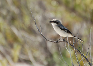 loggerhead-shrike-bird-300