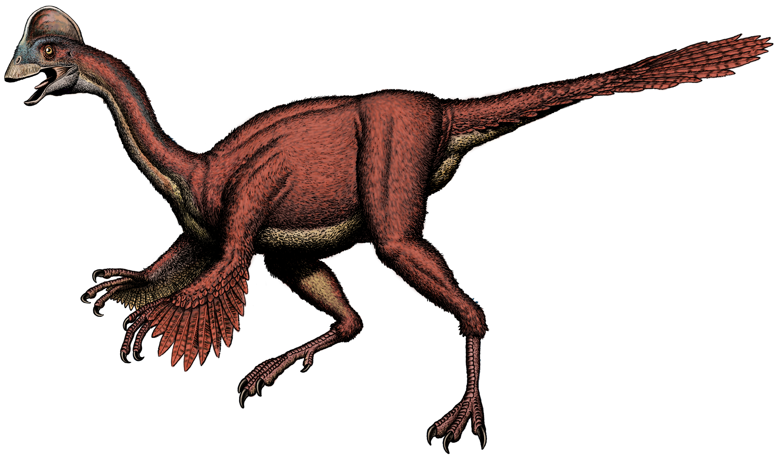 It's easy to see why Anzu wyliei was described as a bird-like dinosaur in this artist's depiction based on a scientific study of the three partially complete fossil skeletons: it resembled an ostrich with its feathered body, toothless bill, long slender neck and powerful hind legs. But it also had a crested skull, a tail, and claws at the ends of its forearms. Image courtesy of Robert Walters, Smithsonian Institution.