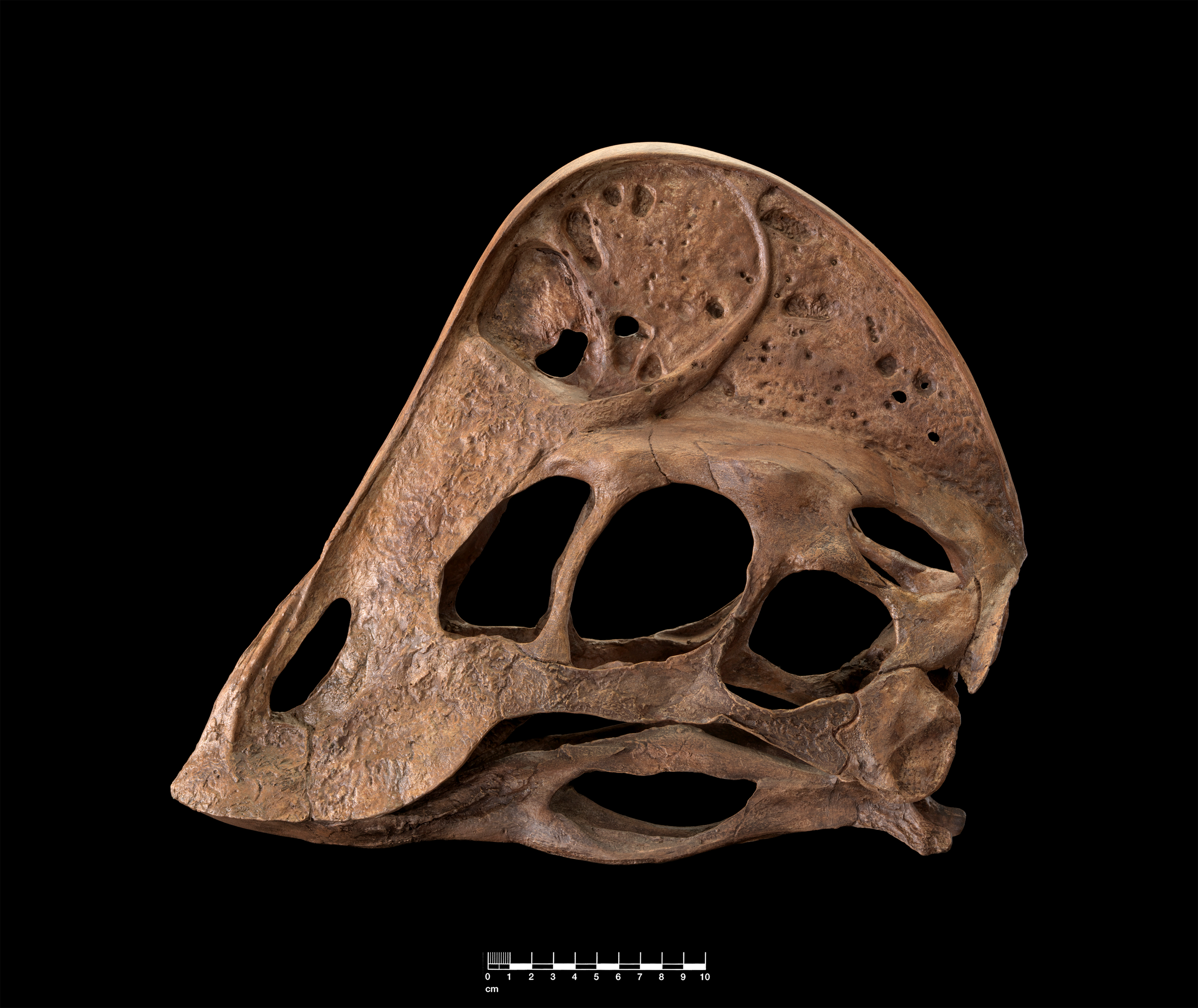 The reconstructed skull of Anzu wyliei shows its large toothless beak that suggests it may have been an omnivore. Image courtesy of James Di Loreto, Smithsonian Institution.