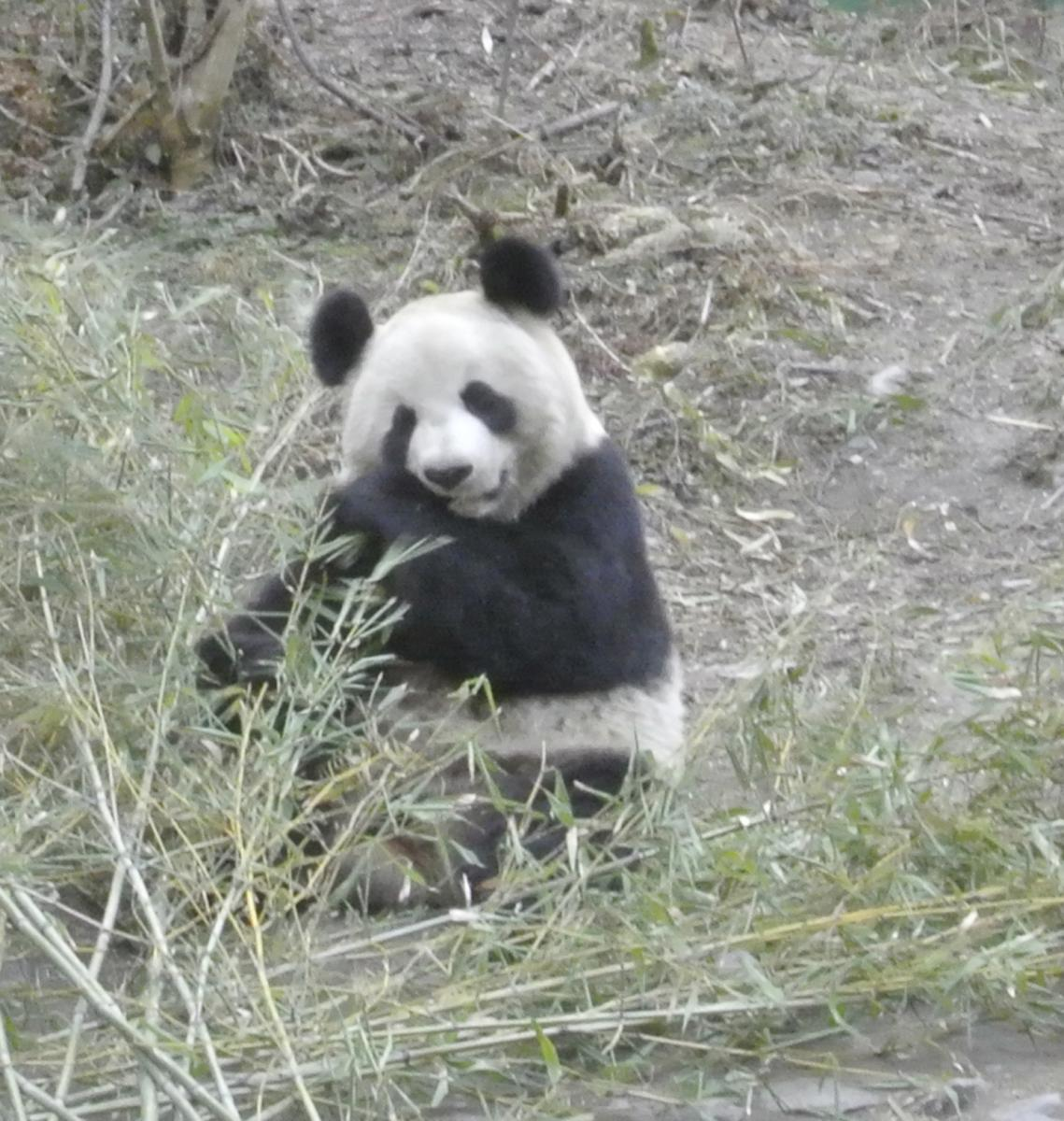 A wild panda munches on bamboo at the Wolong Nature Reserve. Image courtesy of Michigan State University.