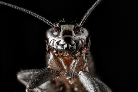 This one is a cricket, not a bee. Photo credit: Sam Droege/USGS