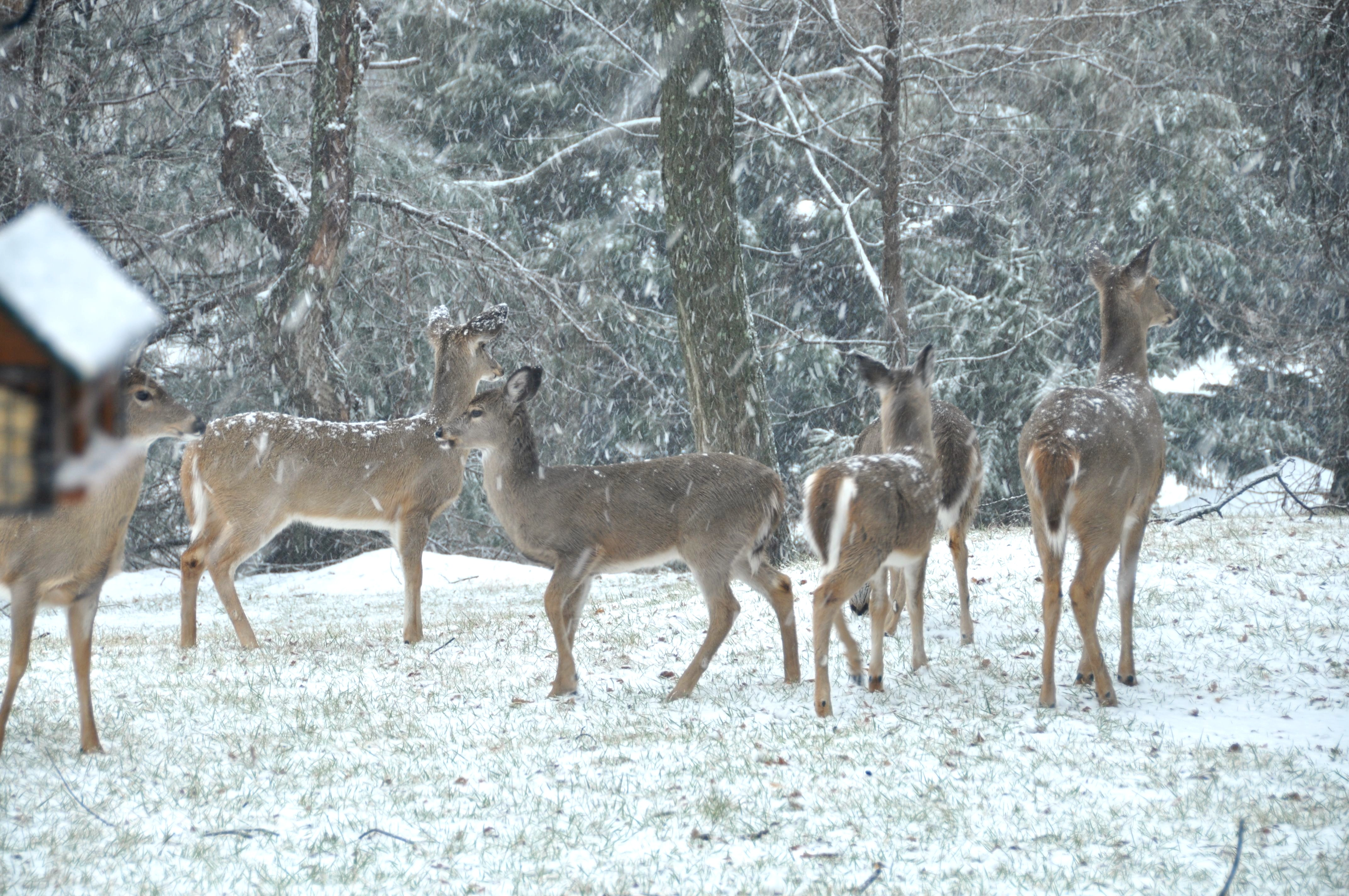 A herd of whitetail deer visit the backyard of a Maryland residence close to a forest. Photo by EarthSky.