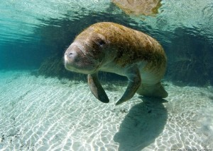Click into a manatee gallery by Rebecca Jackrel