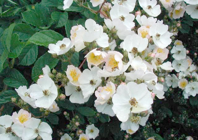 Multiflora rose, native to eastern Asia, was introduced as an ornamental plant. With no natural predators to keep it in check, it is now regarded as an exotic invasive plant in the US. Image courtesy JoJan via Wikimedia Commons.