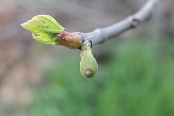 Sue Sharpe posted this sweet shot of a budding fig tree.  Thanks, Sue.