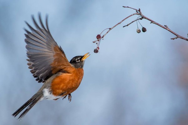 The Quirky Globe: Watch the birdie... the robin that loves ... |Red Robin Bird Flying