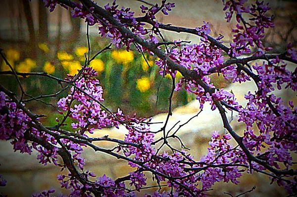 Debra Fryar Calobreves captured this photo of red bud trees in bloom.  They are one of the first trees to bloom in the Texas Hill Country.  Thank you, Debra!