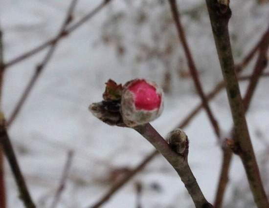 A future peach!  Posted by Pamela D'Angelo.