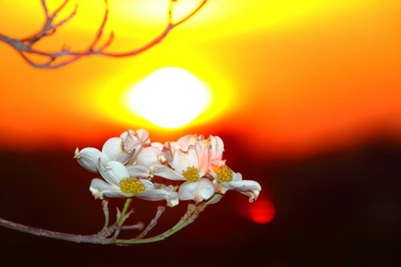 On Earth Day 2014, dogwood at sunrise from our friend Mike O'Neal.  Thank you, Mike.