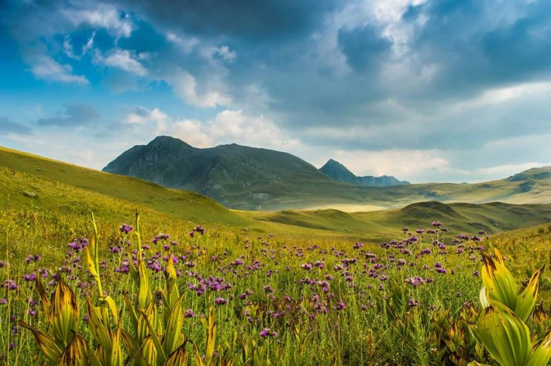 Purple wildflowers on green rolling hills, mountain in background.