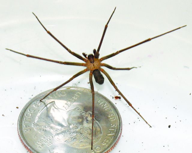 brown recluse spider, which can be found indoors and outside throughout the Midwest, including Kansas and Missouri. The photo shows its size in relation to a quarter. Image via Kansas State Research and Extension