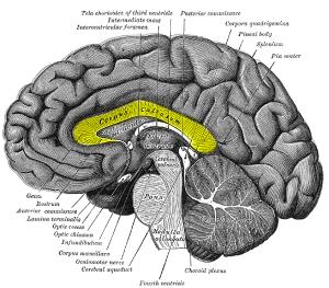 Profile view. Image: Gray's Anatomy, via Wikipedia.