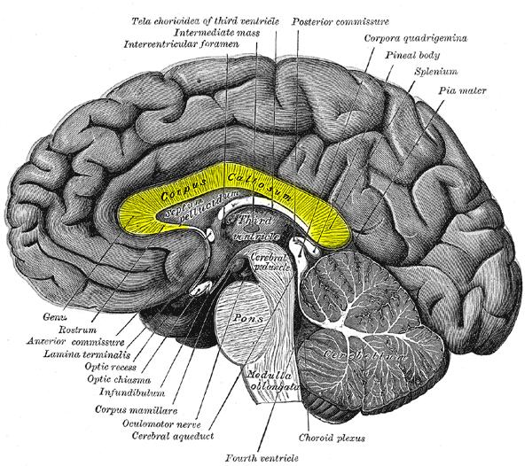 Split Brains Reconnect Via Alternate Routes Human World Earthsky
