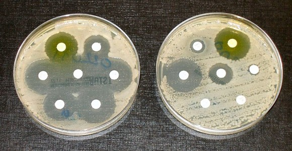 The bacteria in the culture on the left are sensitive to the antibiotics contained in the white paper discs. The bacteria on the right are resistant to most of the antibiotics. Image via Wikimedia Commons