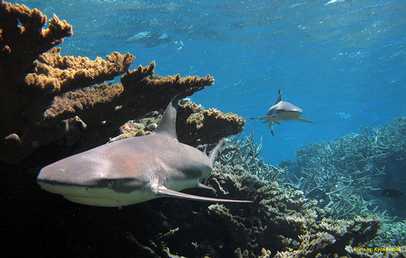 Blacktip sharks at Kingman Reef National Wildlife Refuge. Image Credit: Kydd Pollock, USFWS.