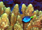 blue-tang-usfw-300
