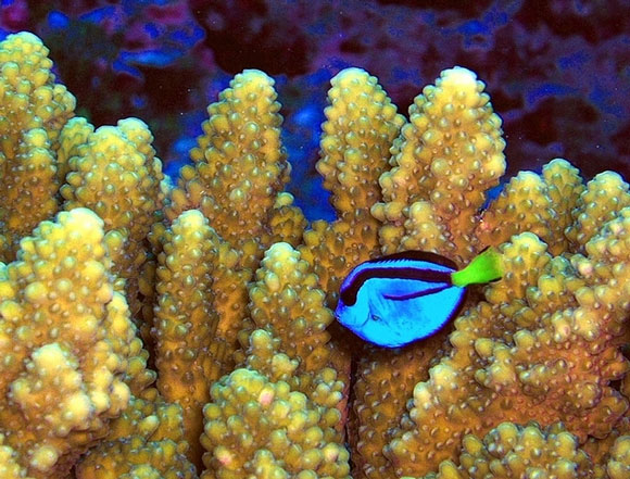 A Pacific blue tang swims past Acropora coral at a National Wildlife Refuge. Image Credit: U.S. Fish and Wildlife.