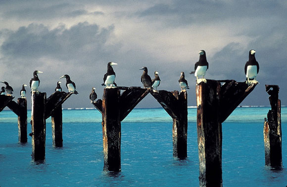 Brown bobbies on old pier posts at the Johnston Atoll. Image Credit: Lindsey Hayes, USFWS.