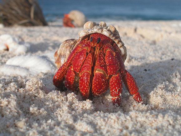 Hermit crab on Howland Island National Wildlife Refuge. Image Credit: USFWS.