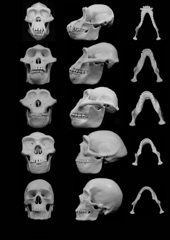 Photographs of skull reconstructions comparing chimpanzees with four hominins: (A) Pan troglodytes; (B)Austrophithecus afarensis; (C) Paranthropus boisei; (D) Homo erectus; (E) Homo sapiens. Images are (from left to right) frontal and lateral views fo the skulls, and dorsal view fo the mandibles. The lateral views are aligned by the bridge of the nose (verticle line). Scale bar, 100 mm. Photo Credit: Reconstructions were supplied by Skulls Unlimited.