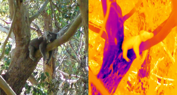Koalas use trees like we humans use air conditioning ... to cool off, a new study shows.  Image via Steve Griffiths.