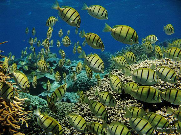 School of manini at Kingman Reef National Wildlife Refuge. Image Credit: Kydd Pollock, USFWS.