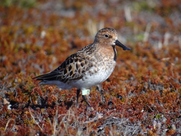 Against all odds, this spoon-billed sandpiper has returned to its birthplace to breed.  It is the first spoon-billed sandpiper from the captive-rearing scheme to do so.  Photo by Pavel Tomkovich and Egor Loktionov.