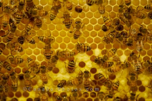 Newfoundland honey bees via canada-photos.com