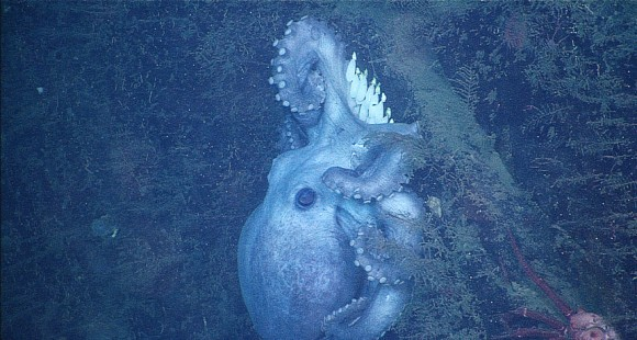 This deep-sea octopus is settled over her eggs on the side of a rock face in the Monterey Submarine Canyon.  Ultimately, she stayed with the eggs for 53 months, until September 2011.  Image via Monterey Bay Aquarium Research Institute.