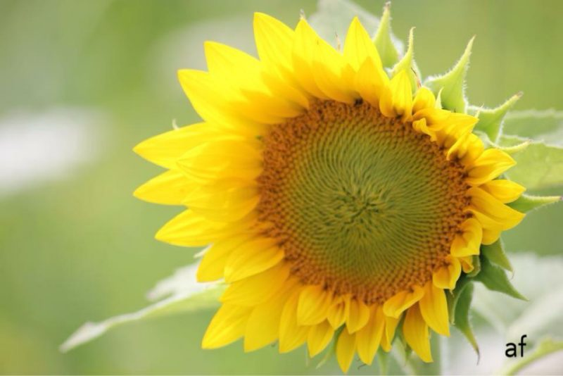 Drooping yellow sunflower with green center.