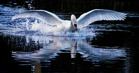 EarthSky Facebook friend Graham Telford caught this swan landing while waiting for the sun to rise, at Allerton Bywater in the U.K.  Thanks, Graham.