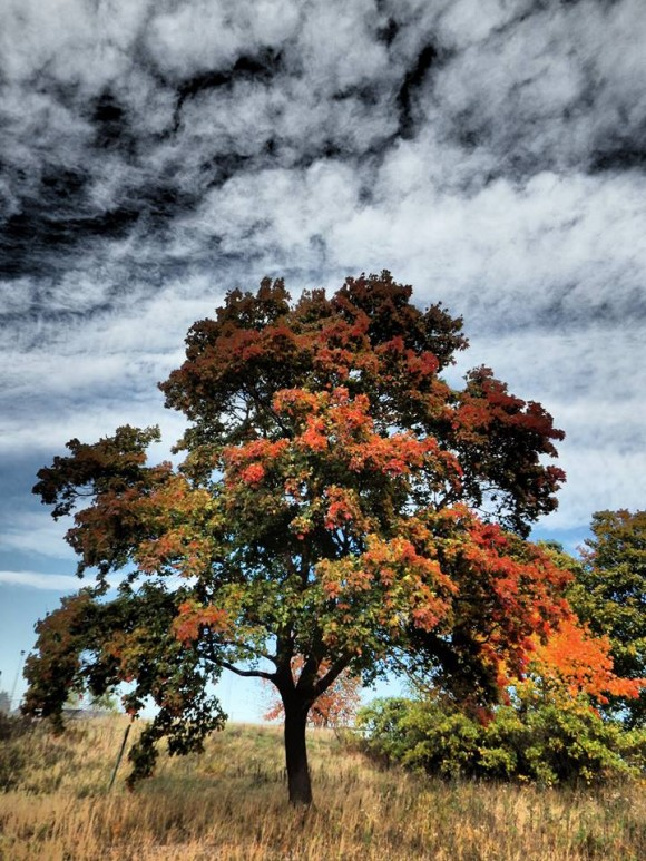 Symmetrical oak tree starting to turn orange against partly cloudy blue sky.