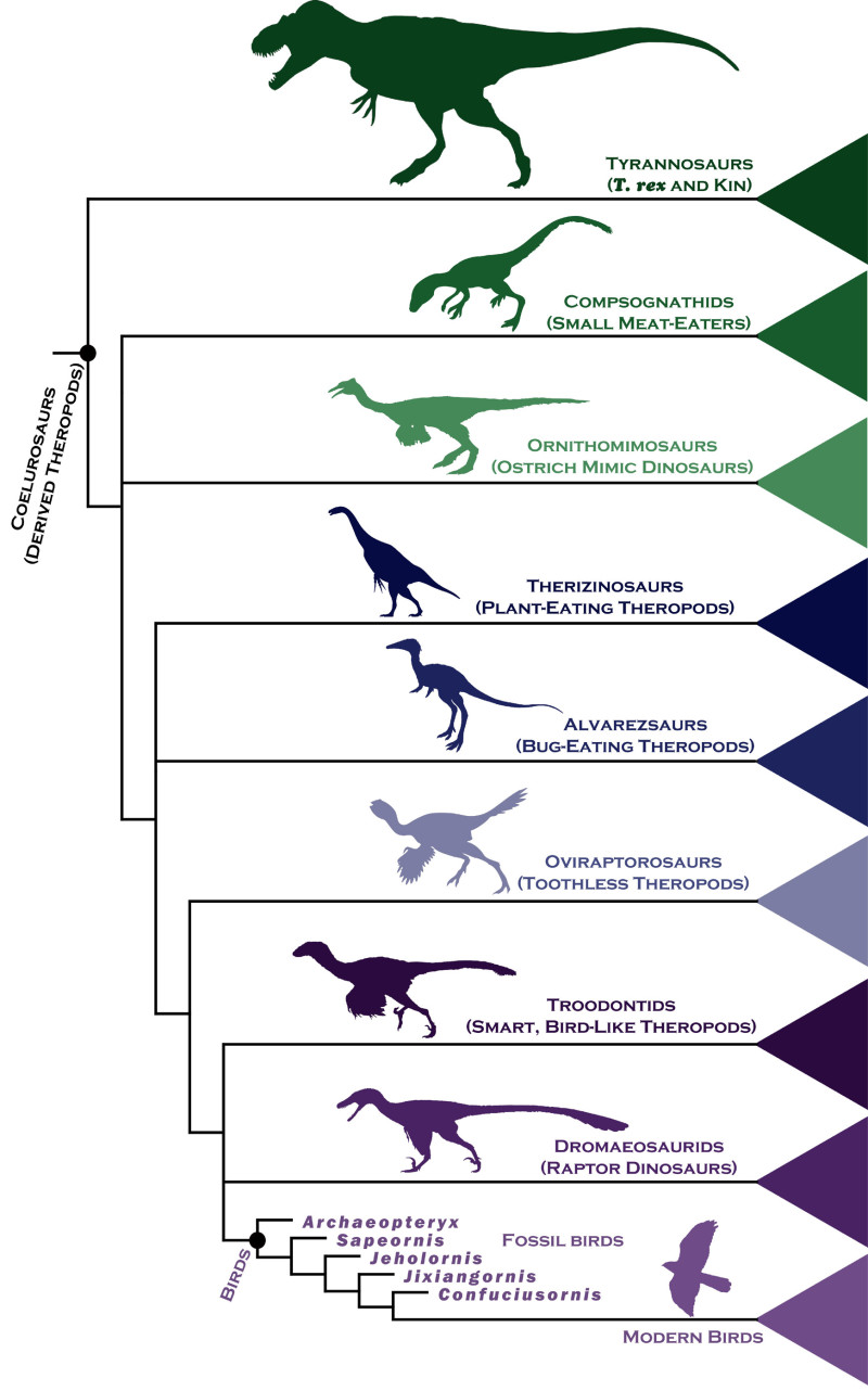 Researchers examined the evolutionary links between ancient birds and their closest dinosaur relatives, by analyzing the anatomical make-up of more than 850 body features in 150 extinct species, and used statistical techniques to analyze their findings and assemble a detailed family tree. Image credit: Steve Brusatte