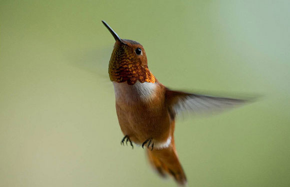 A male Rufous hummingbird. Image Credit: U.S. Fish and Wildlife Service.