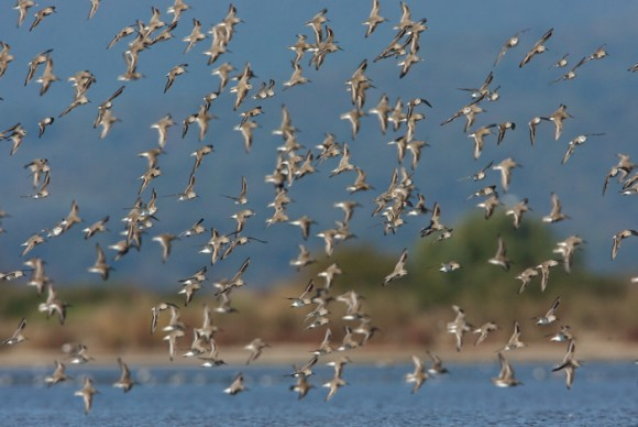 The Global Shorebird Counting is one of the key events of the World Shorebirds Day. This is not particularly a citizen science program, but rather an effort to rise awareness for the importance of regular bird monitoring as the core element of bird protection and habitat conservation.  Photo via World Shore Bird Day.