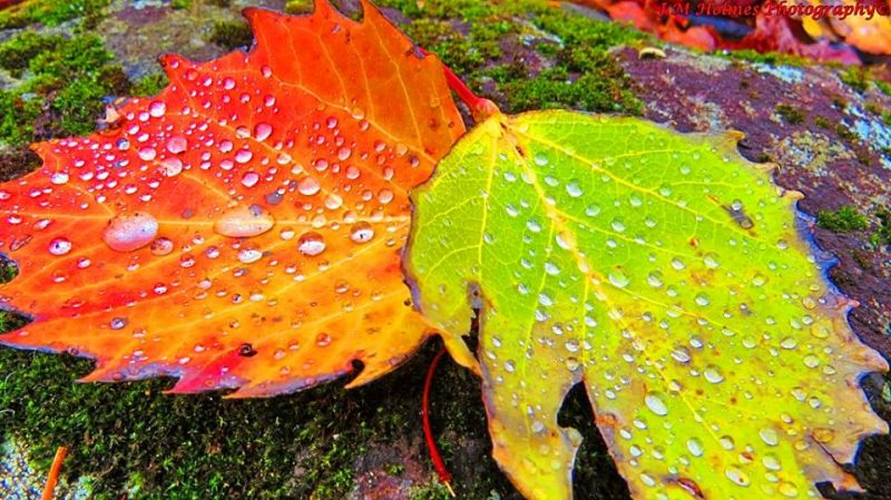 Closeup of jagged edged red-yellow and green-yellow leaves with water droplets on them.