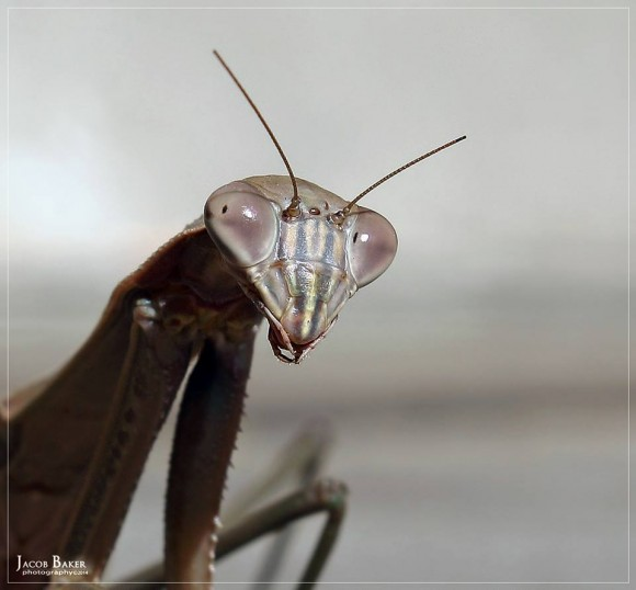 Chinese mantis by Jacob Baker