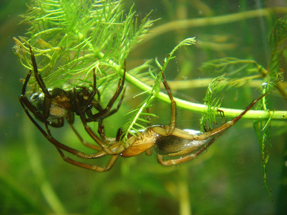Two spiders walking upside down among fronds of algae in shallow water.
