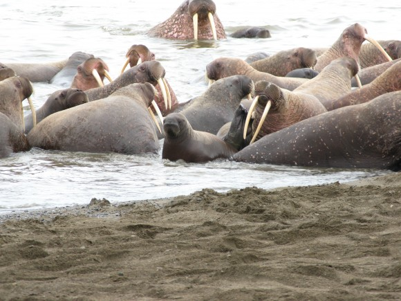 Walrus calves are more likely to be trampled in these massive land haul-outs. Photo credit: USGS